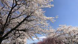 あちらこちらで桜が満開